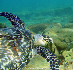 Sea turtle on the Inside Reef at Lauderdale by the Sea by Michael Kovach 